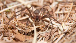 how to get rid of brown recluse spider