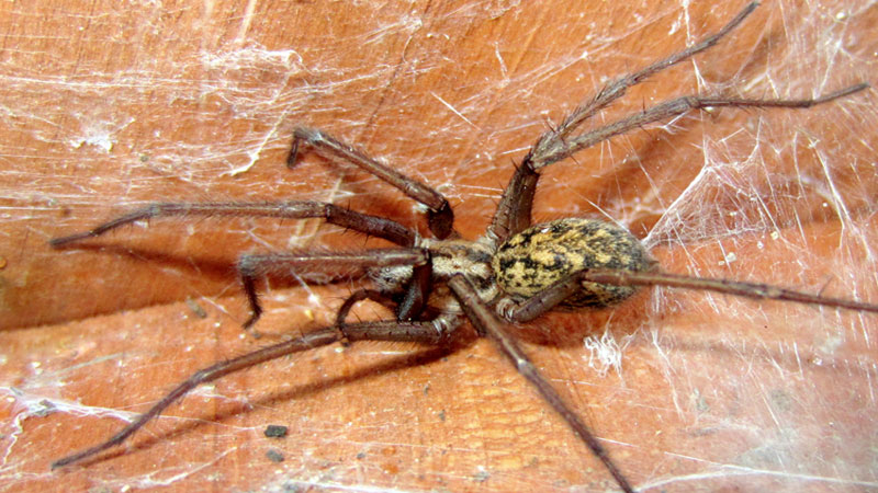 how to get rid of hobo spider