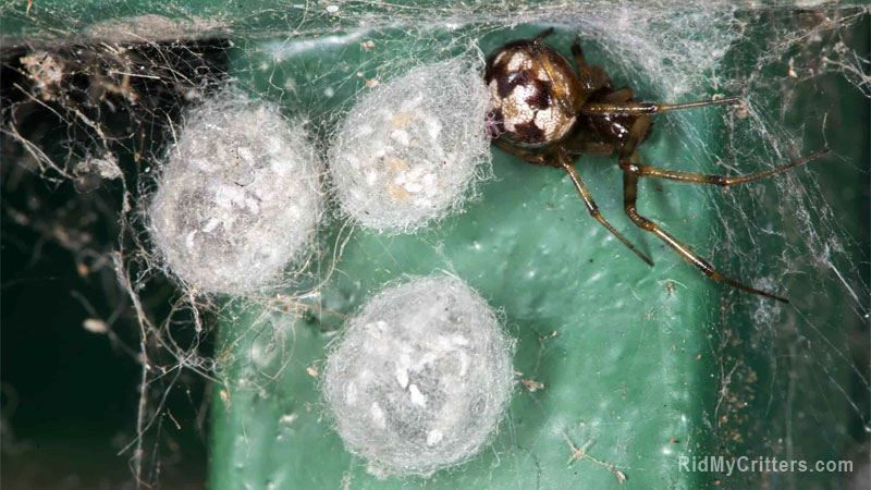 how to get rid of spider eggs