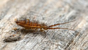 how to get rid of springtails