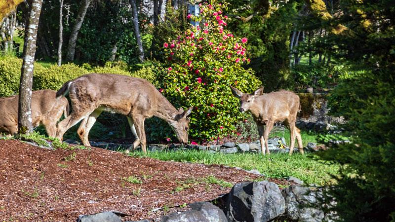 keep deer away from a yard