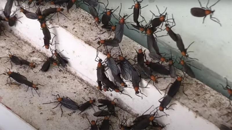 lovebug infestation