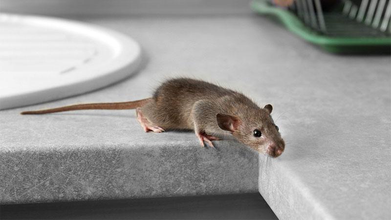 mouse climbing onto countertop