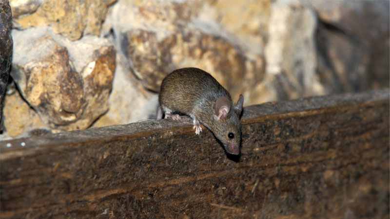 mouse climbing over wall