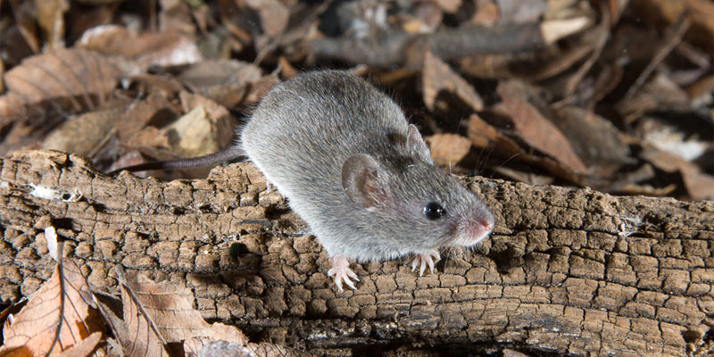 Northern pygmy mouse
