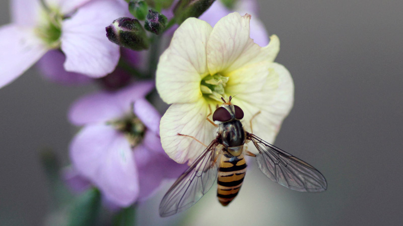 how to repel hoverflies