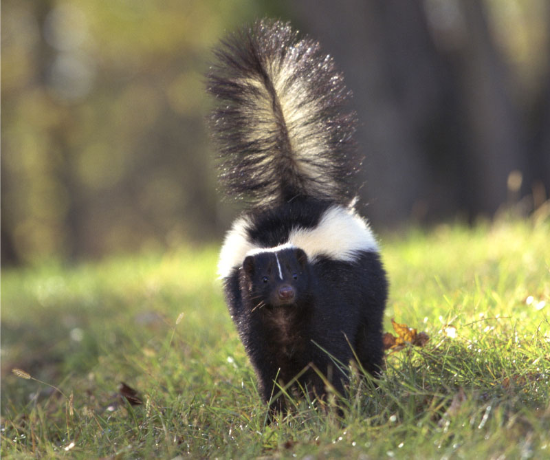 skunk spray