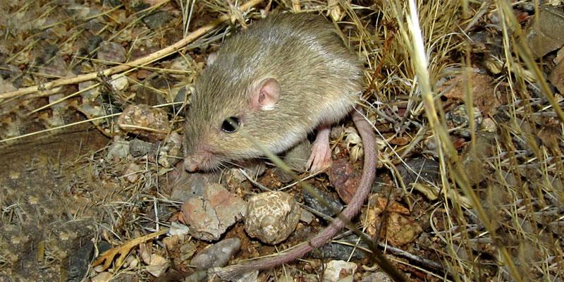 soft-furred pocket mouse