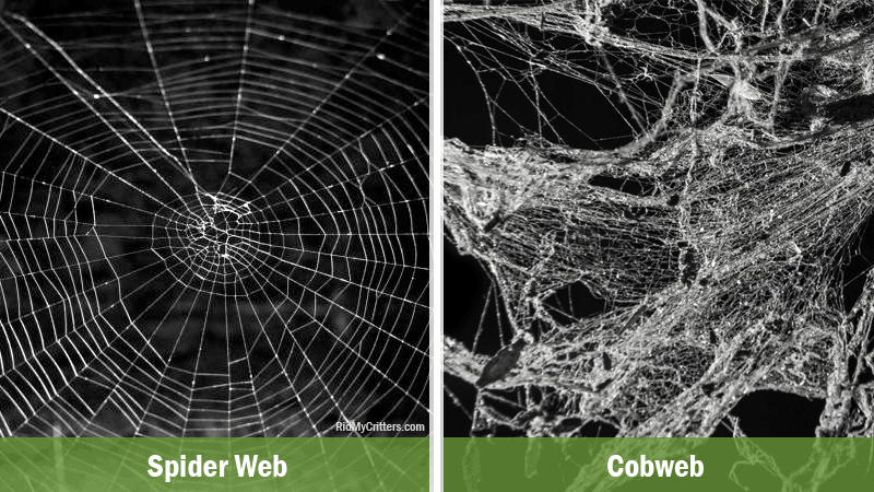 spider web vs cobweb