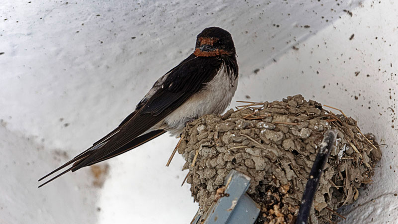 stop barn swallows from nesting on house