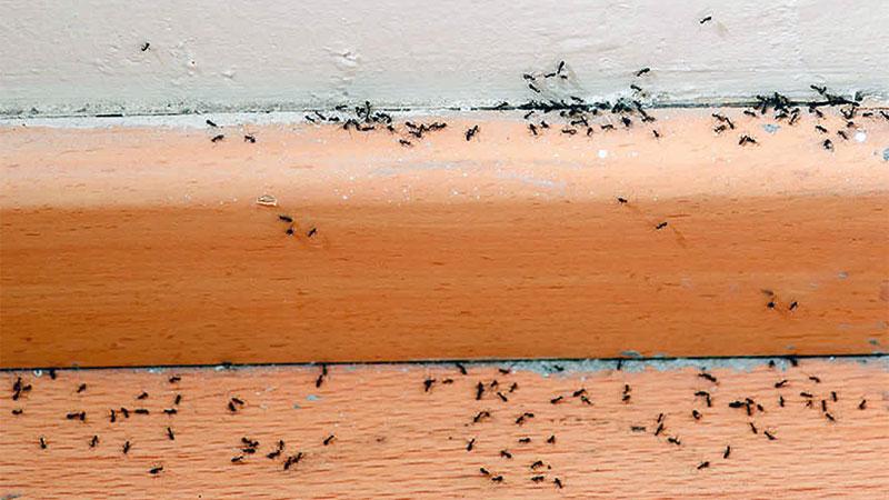 sugar ants in kitchen