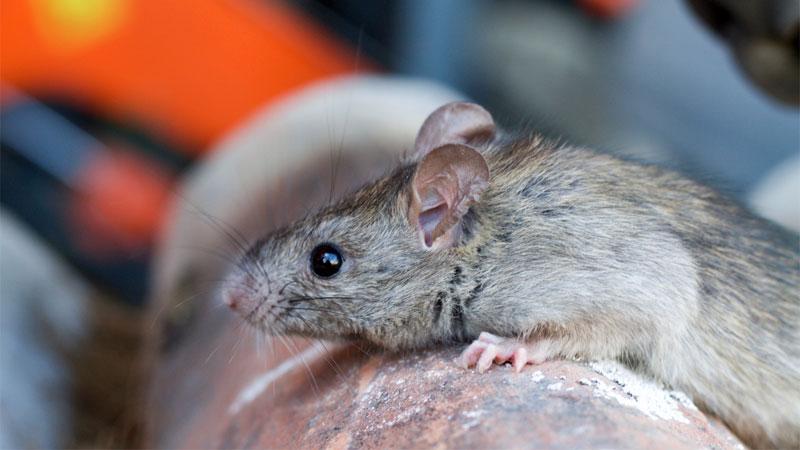 surfaces mice climb