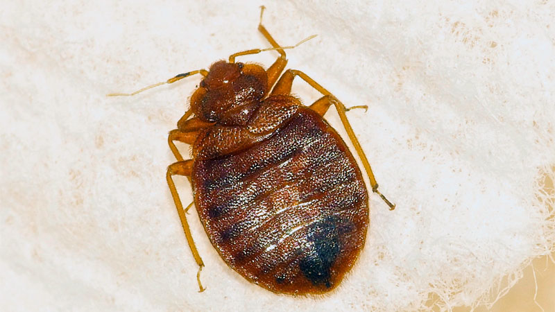 what bed bug looks like
