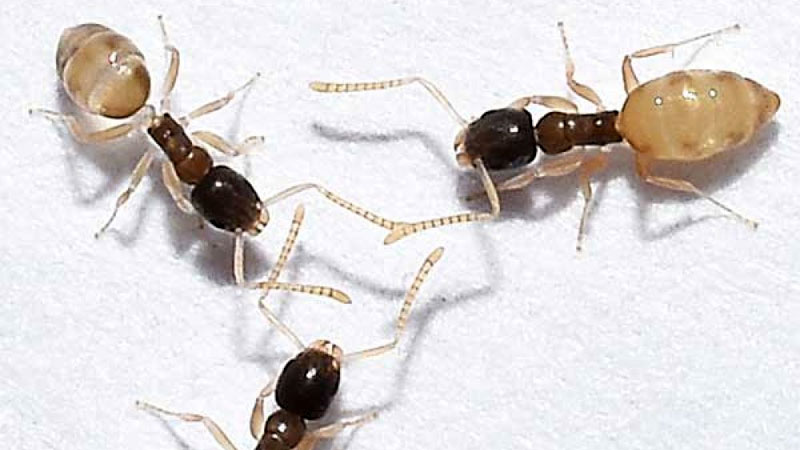 what a ghost ant looks like