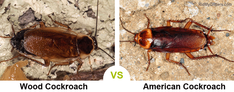 wood roach vs American cockroach