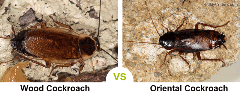 wood roach vs oriental cockroach